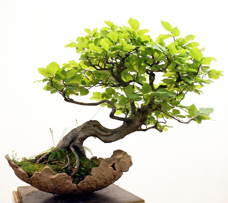 Cây bonsai đẹp quà tặng sếp nam ý nghĩa