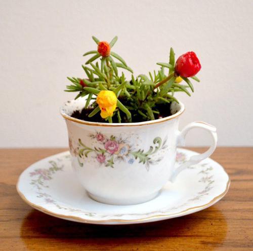 Có thể trồng hoa mười giờ